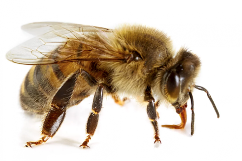 L'ape da operaia rischia di diventare serva