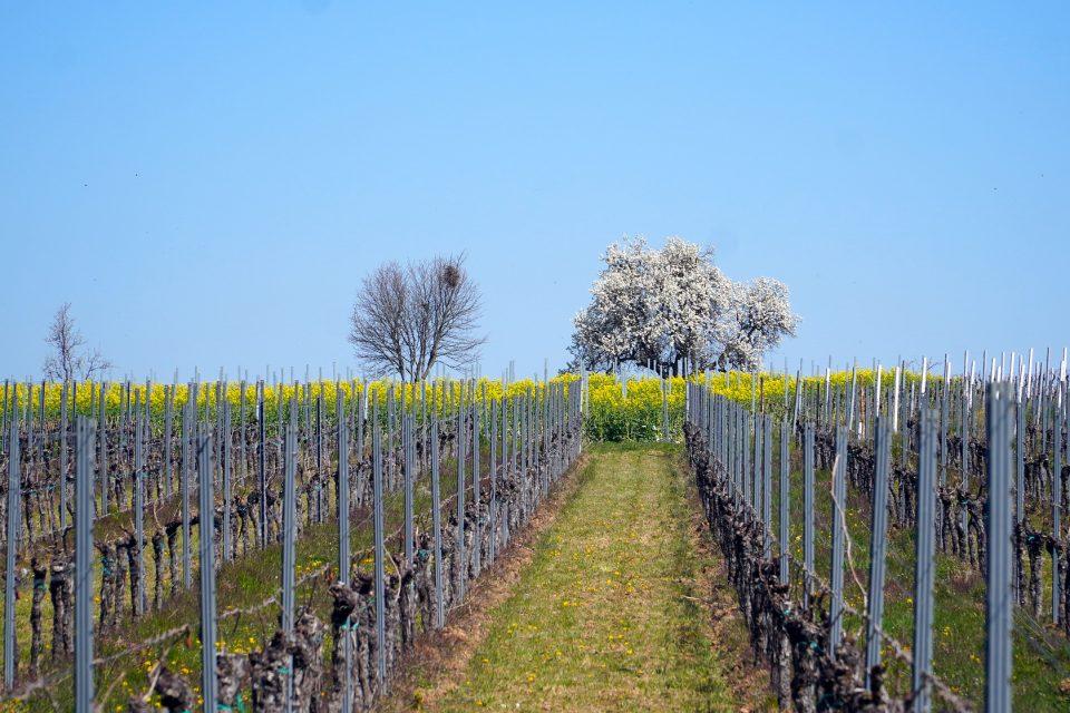 Piwi, i vitigni resistenti… saranno il futuro anche sugli Euganei?